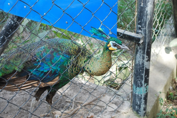 Injured peacock at the Park.