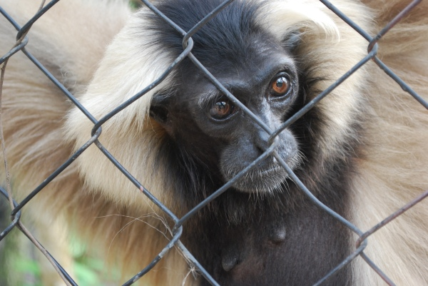 One of the gibbons at Phnom Tamao.