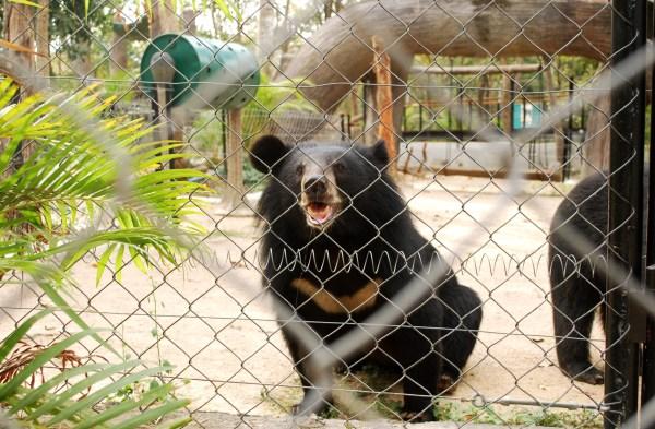 Malayan sun bear at Phnom Tamao.